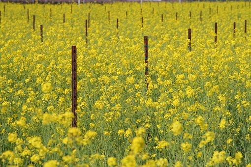 Flower, Mustard, Blossom, Blooming, Plant, Spring