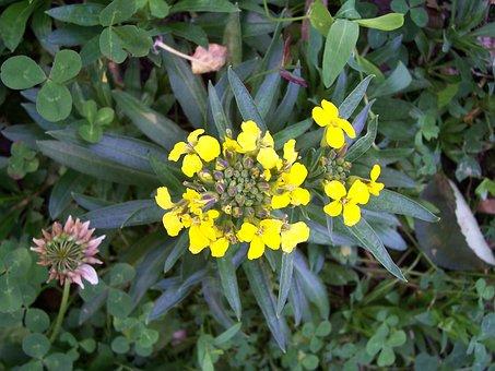 Treacle Mustard, Erysimum Cheiranthoides