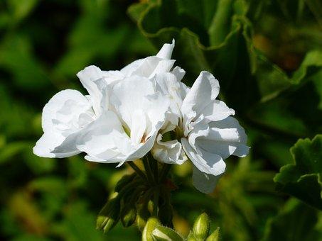 Geranium, White, Flower, Blossom, Bloom