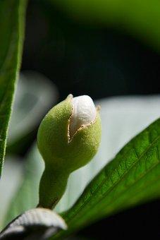 Guava Flower Bud, Fruit, White Flower, Nature, Eat