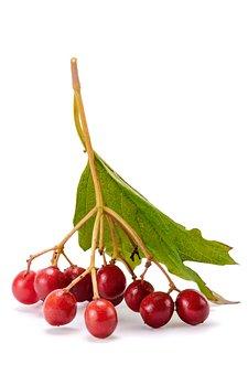Berries, Viburnum, Plant, Branch, Tree, Background