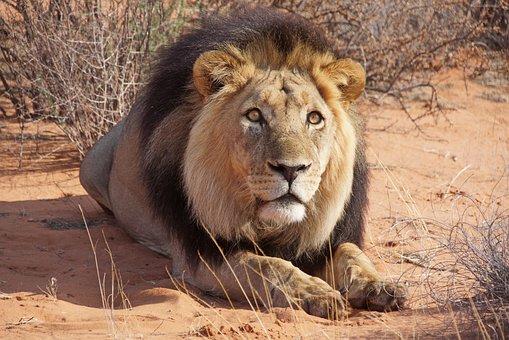 Lion, Animal, Safari, Mane, Wildlife, Mammal, Big Cat