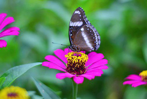 Butterfly, Zinnia, Flower, Insect, Animal, Wings