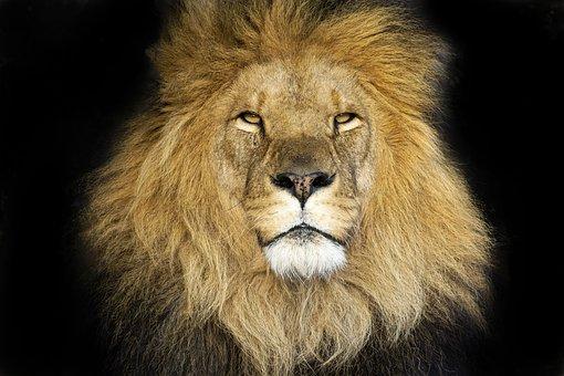 Lion, Expensive, Main, Mane, Mammals, Big Cat