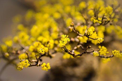Cornelian Cherry, Flowers, Branch, Yellow Flowers