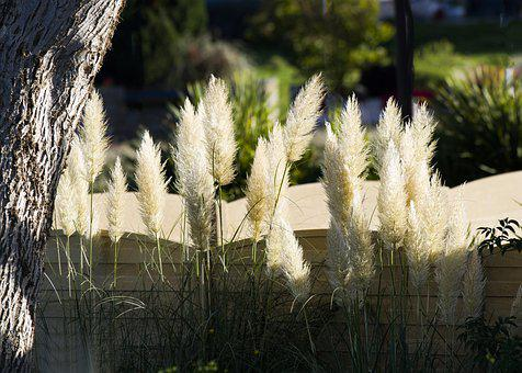 Reed, Flower, Bushes, Growth, Wild, White