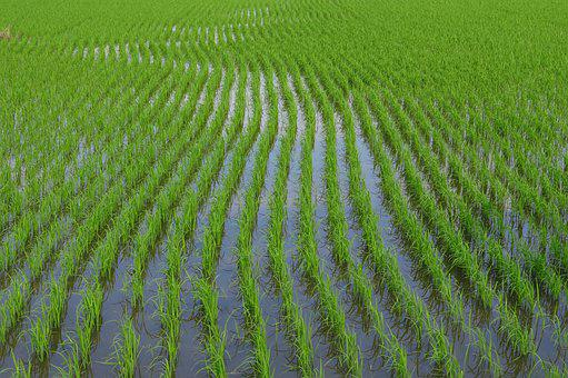Rice Field, Farm, Paddy, Rice Paddy, Paddy Field, Crop