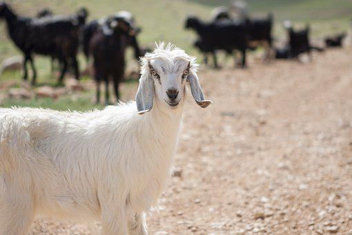 Goat, Horns, Ruminant, Farm, Animal, Livestock, Rural