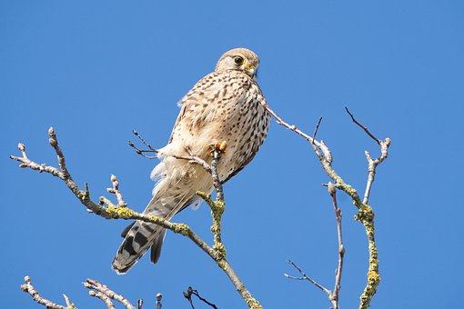 Falcon, Sky, Bird, Branch, Animal, Nature, Animal World