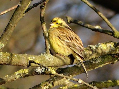 Yellowhammer, Bird, Branch, Perched, Animal, Songbird