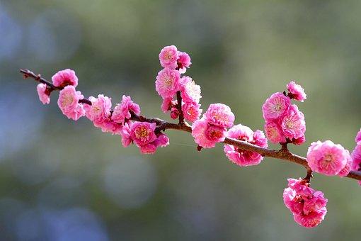 Flowers, Cherry Blossoms, Petals, Plum, Spring, Tree