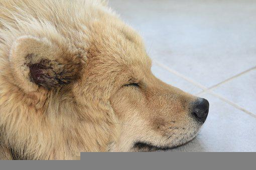 Eurasier, Dog, Sleeping, Asleep, Rest, Pet, Animal