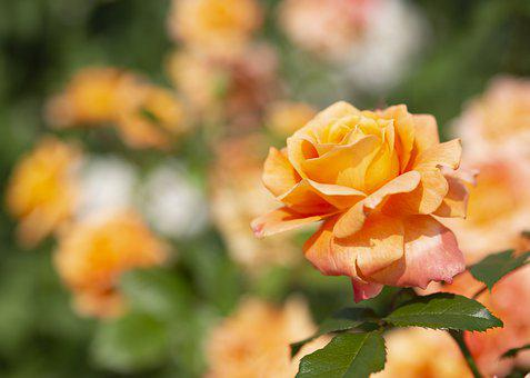 Rose, Flower, Plant, Petals, Orange Rose, Orange Flower