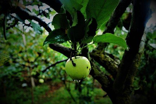 Apple, Green, Fruit, Apples, Food, Harvest, Fresh