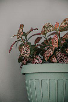 Plant, Pink Plant, Nature, Leaves, Indoor Plant, Indoor