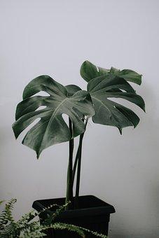 Monstera Plant, Monstera, Monstera Leaf