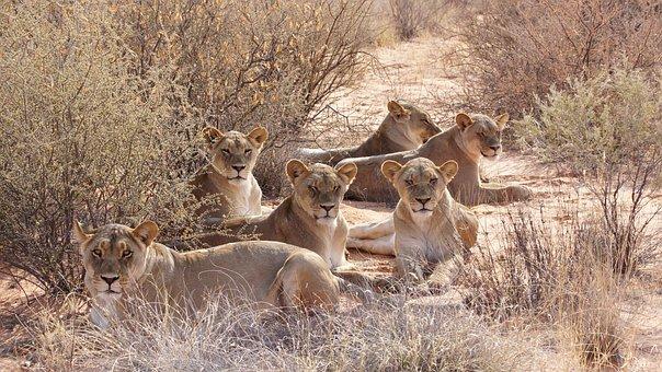 Lion, Pack, Kalahari, Predator, Big Cat, Safari, Animal