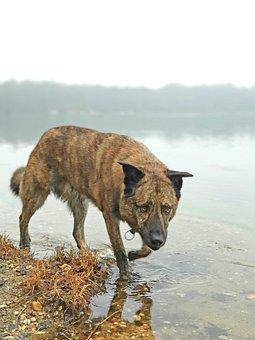 Dog, Walk, Lake, Perro Majorero, Pet, Animal