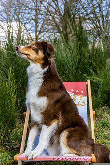 Dog, Canine, Australian Shepard, Pet, Domestic