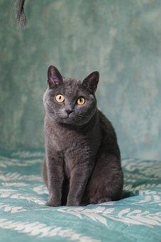 Cat, Feline, British Breed, Briton, Posing, Pet