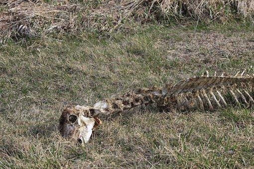 Carcass, Deer, Bones, Body, Death, Dead, Grass, Dry
