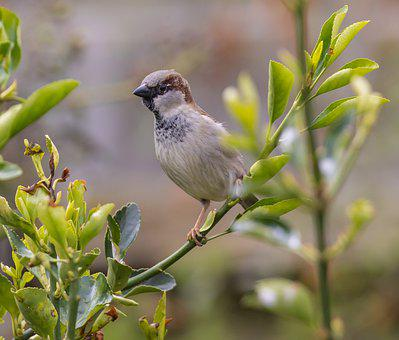 Sparrow, Bird, Branch, Perched, Foraging, Male Sparrow