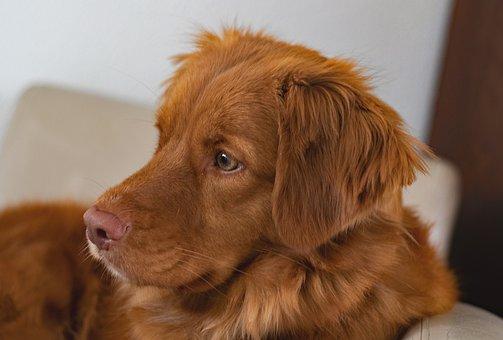Dog, Nova Scotia Duck Tolling Retriever, Toller, Pet