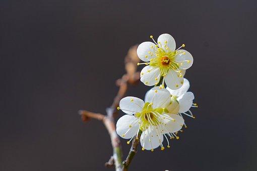 Plum, Spring Flowers, Republic Of Korea, Spring