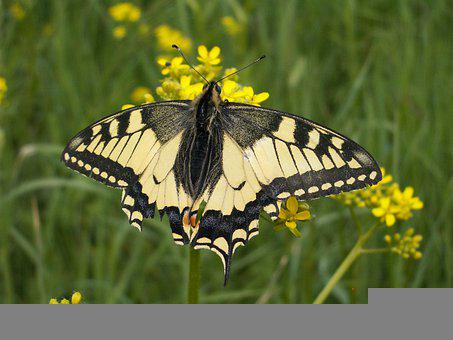 Swallowtail, Papilio Machaon, Butterfly, Insect