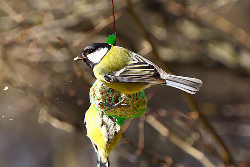 Great Tit, Bird, Tallow Ball, Food, Feed, Grain, Tit