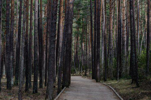 Path, Trees, Forest, Road, Trail, Pine Trees, Walkway