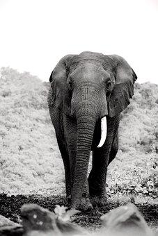 Elephant, Tusks, Wildlife, Animals, Nature, Africa