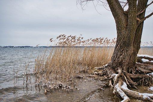 Lake, Bank, Winter, Snow, Beach, Reed, Tree, Roots