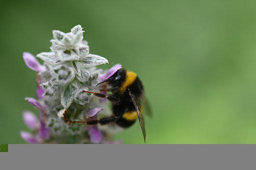 Hummel, Summer, Insect, Blossom, Bloom, Close Up