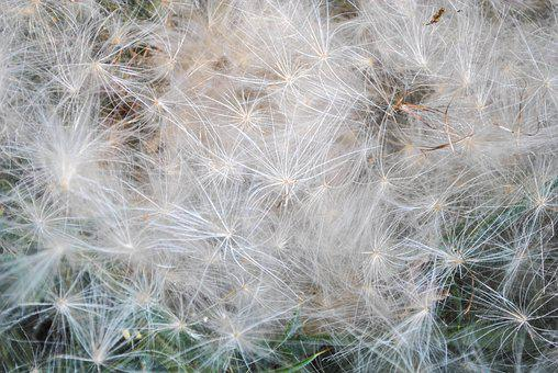 Dandelion, Plant, Seed Head, Flower, Seeds