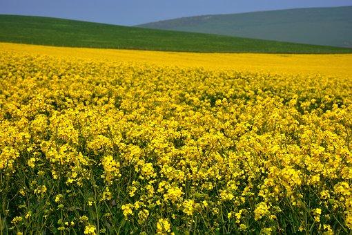 Rapeseed Flowers, Flowers, Field, Yellow Rapeseed