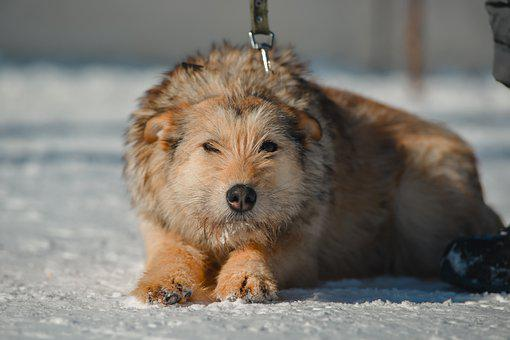 Dog, Pet, Winter, Terrier, Leash, Animal, Domestic Dog