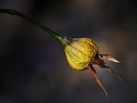 Flower, Rose, Bud, Rose Hip, Plant, Bent, Nature