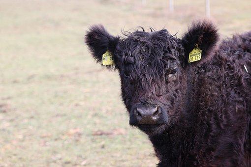 Cow, Calf, Ruminant, Herd, Pasture, Field, Cattle, Farm