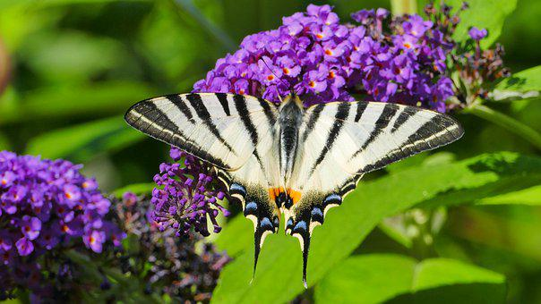 Butterfly, Scarce Swallowtail, Flowers, Insect, Animal