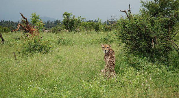 Cheetah, Hunt, Nature, Predator, Africa, Wild, Cat