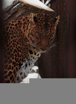 Jaguar, Animal, Zoo, Mammal, Big Cat, Wild Animal