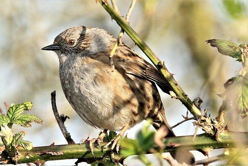 Dunnock, Bird, Branch, Perched, Sparrow, Songbird