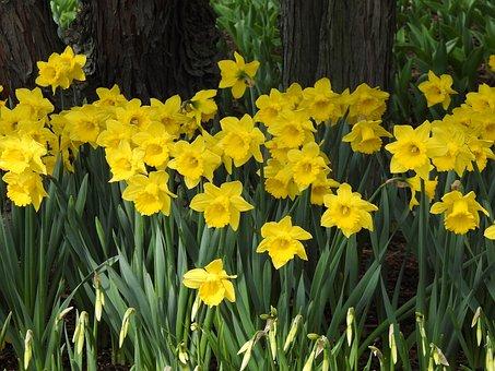 Flowers, Daffodils, Plants, Flora, Spring, Washington