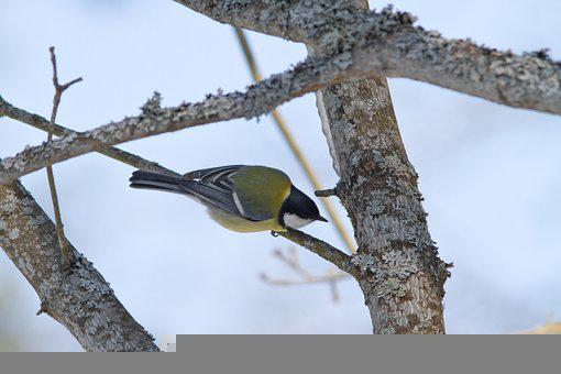 Great Tit, Bird, Branch, Perched, Parus Major, Animal