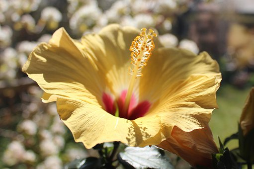 Hawaiiblomst, Flower, Yellow
