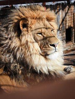 Lion, Cage, Zoo, Animal, Mammal, Big Cat, Wild Animal