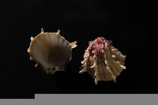 Oyster, Shells, Marine, Seashells, Mussels, Beautiful