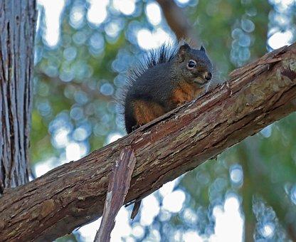 Squirrel, Cedar, Tree, Western Washington, Native