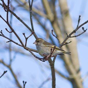 Greenfinch, Bird, Branch, Perched, Chloris Chloris